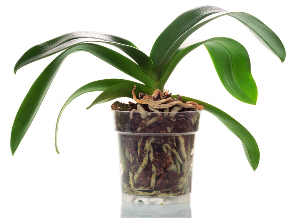 Горшки для орхидей. Какие лучше купить: пластиковые, стеклянные или ...