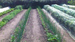 Огород по Митлайдеру: с чего начать, как сделать узкие грядки по-русски