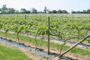 Шпалера для винограда: размеры, схема, как установить, подвязать, видео